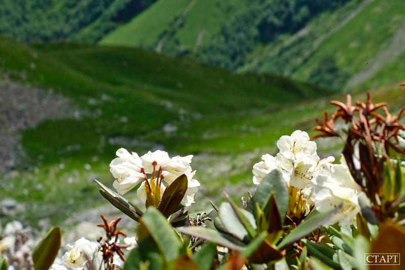 Рододендрон в Архызе