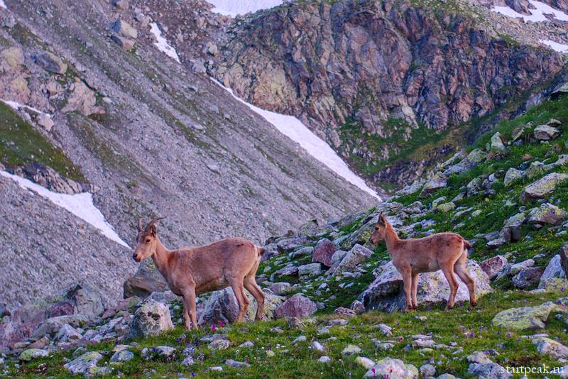 Кавказский тур в естественной среде обитания